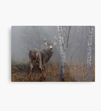 Buck - White-tailed deer Metal Print