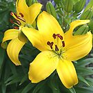 Yellow Lilies by Stephen Thomas