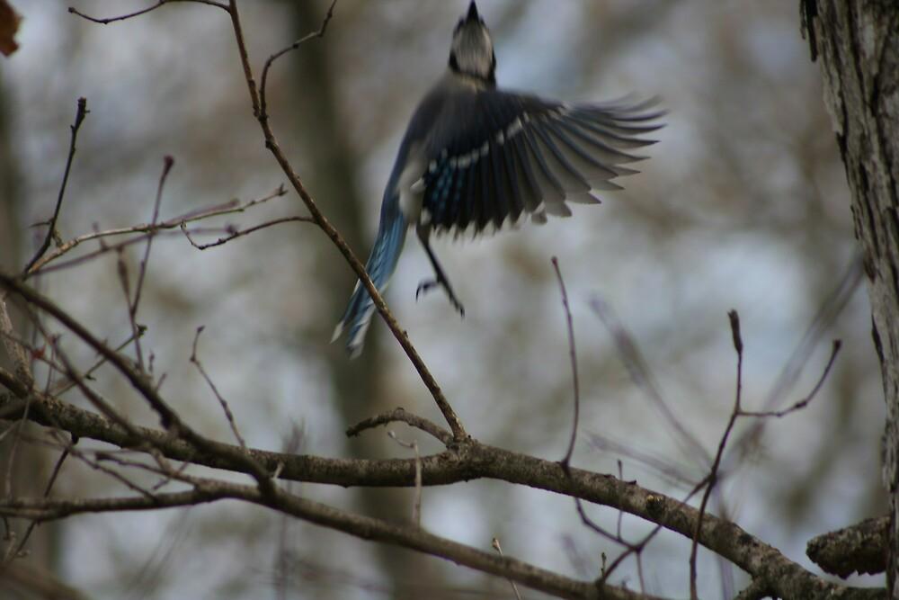 Blue Jay bird in flight by turkeylegs