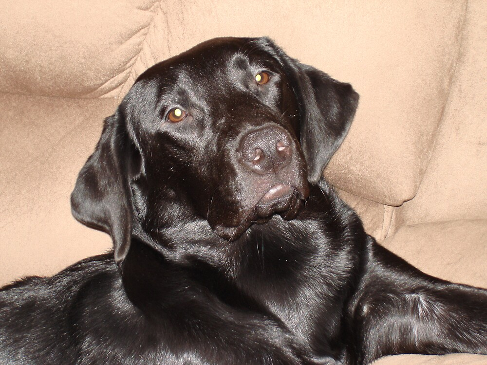 Brady the Black Labrador by tawaslake