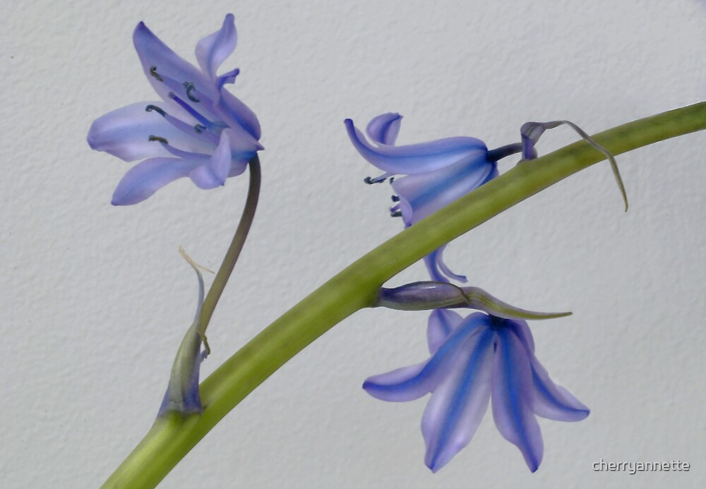 French bluebells by cherryannette