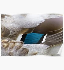 Duck feathers Poster