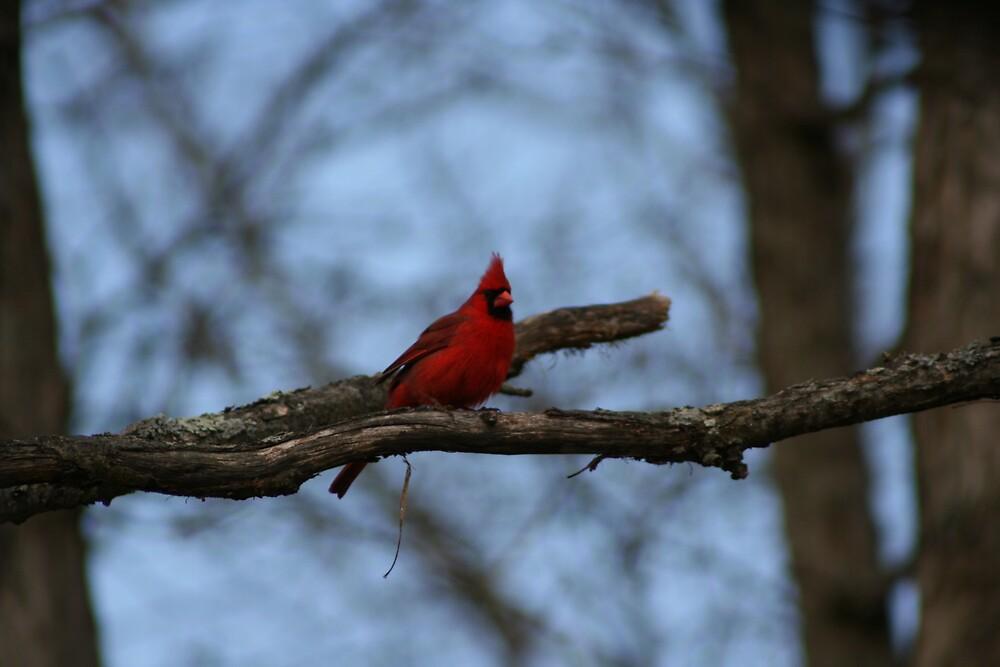 Northern red cardinal by turkeylegs