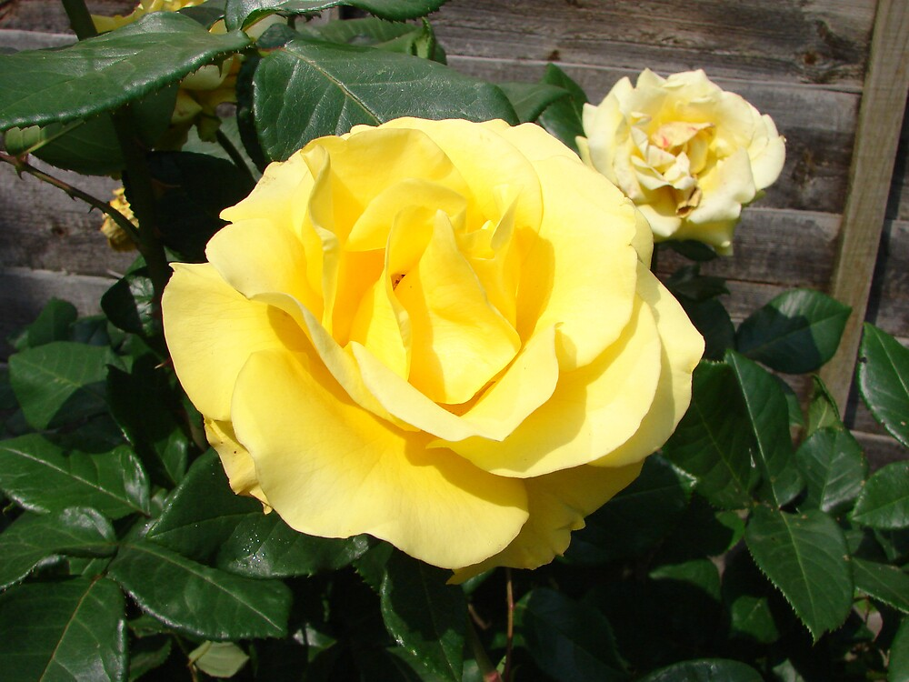 Yellow Roses by zaphos