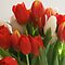 Tulips (2 per day)