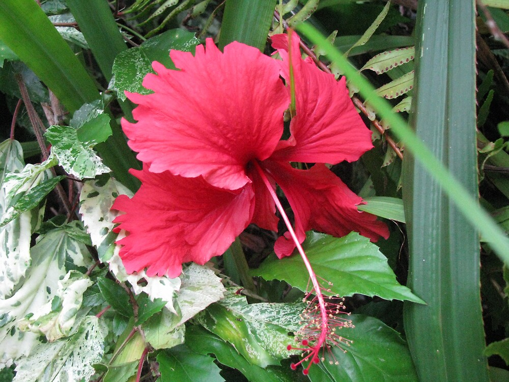 My beautiful Hibiscus... by Sue Wickes