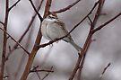 Sparrow in a Spring Snowstorm by Dawne Olson