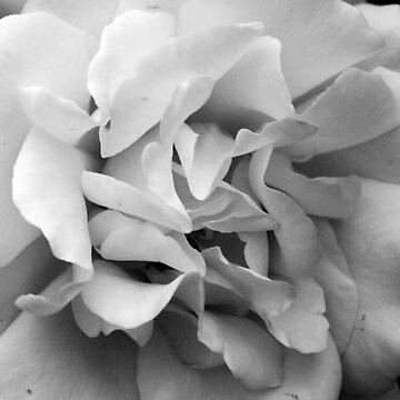 Rose #4 by Smasma