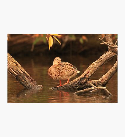 Lake Okauchee Mallard Photographic Print