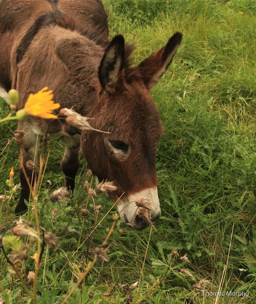 Hot Wheezing Donkey by Thomas Murphy