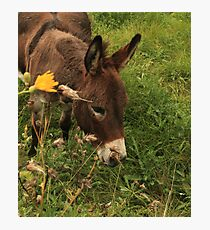 Hot Wheezing Donkey Photographic Print