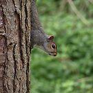 Elveden Squirrel by Stuart  Milton