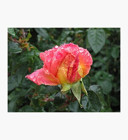 Wet and Wild Rose Photographic Print