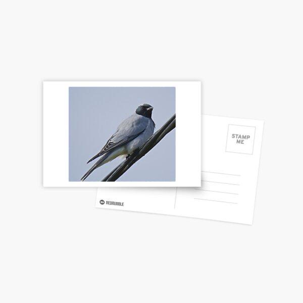 CUCKOOSHRIKE ~ Black-faced Cuckooshrike JKGP7F58 by David Irwin ~ WO Postcard