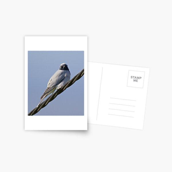 CUCKOOSHRIKE ~ Black-faced Cuckooshrike F7W6LHZ8 by David Irwin Postcard