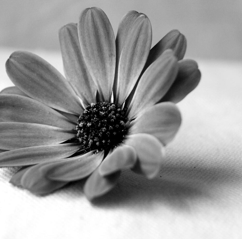 Michaelmas daisy  by Debbie Cowee