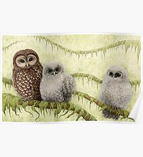 Northern Spotted Owls (Strix occidentalis caurina) Poster