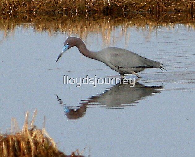 Oh little blue heron by lloydsjourney