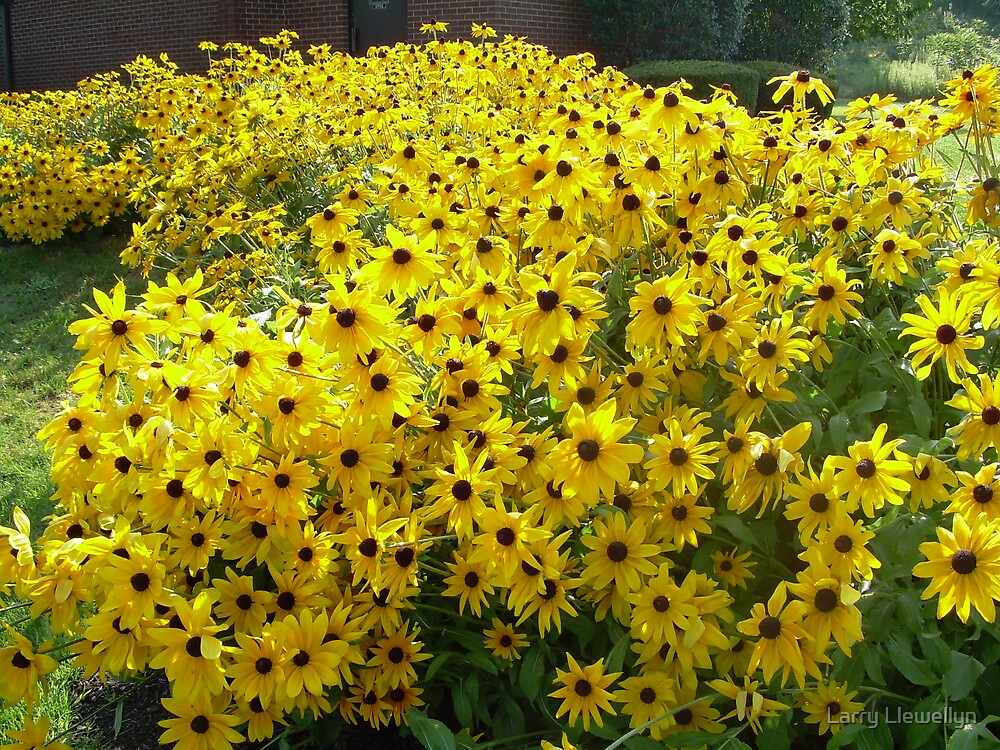 Field of Sunshine.... To BRIGHTEN a dull winters Day... by Larry Llewellyn