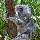 Sleepy Koala by Bami