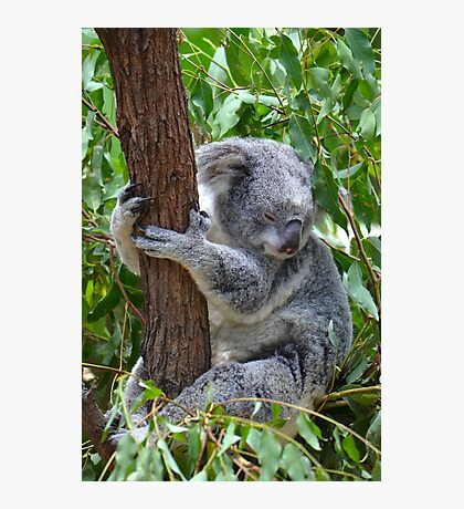 Sleepy Koala Photographic Print