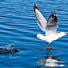 Seagull beauty 99978 by kevin chippindall