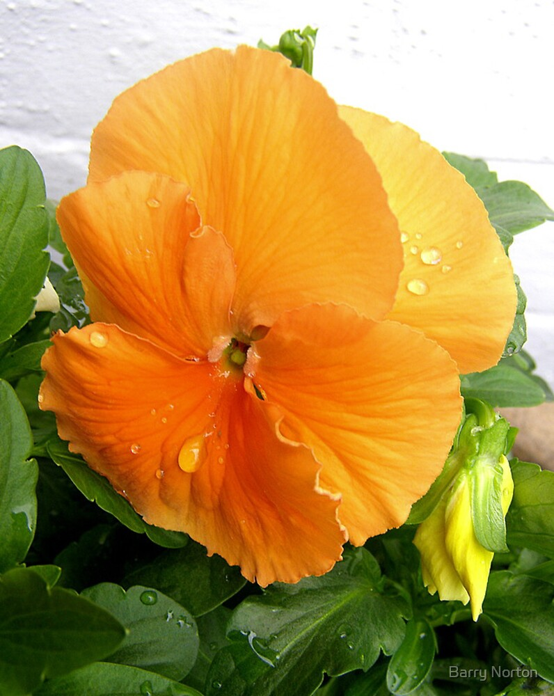 Peach Pansy after Rain by Barry Norton
