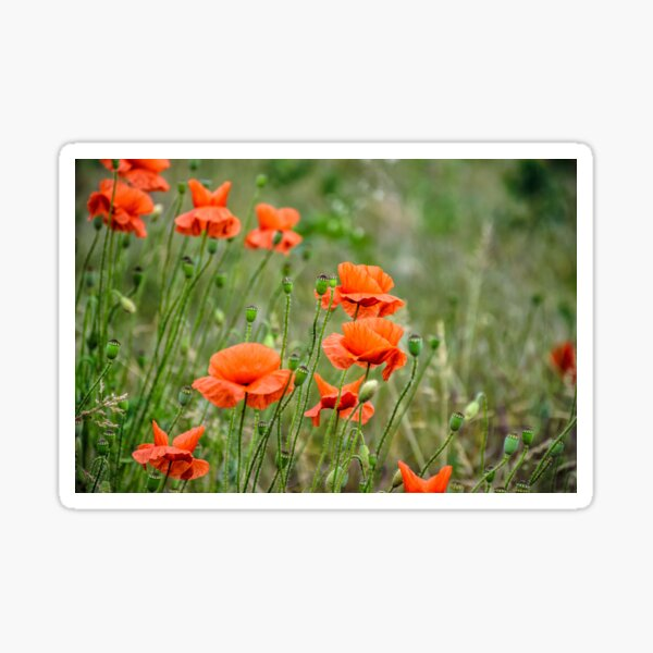 red poppy flowers among the grass Sticker