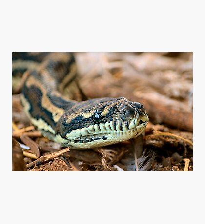 Python Closeup Photographic Print