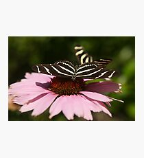 Zebra Longwing butterfly photography Photographic Print