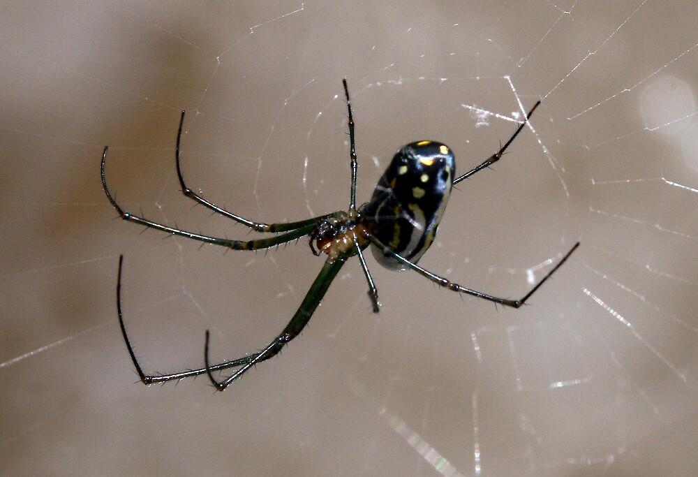 Mangrove Spider by Ricky Howard