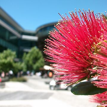 Pohutukawa (Wellington) by jezkemp