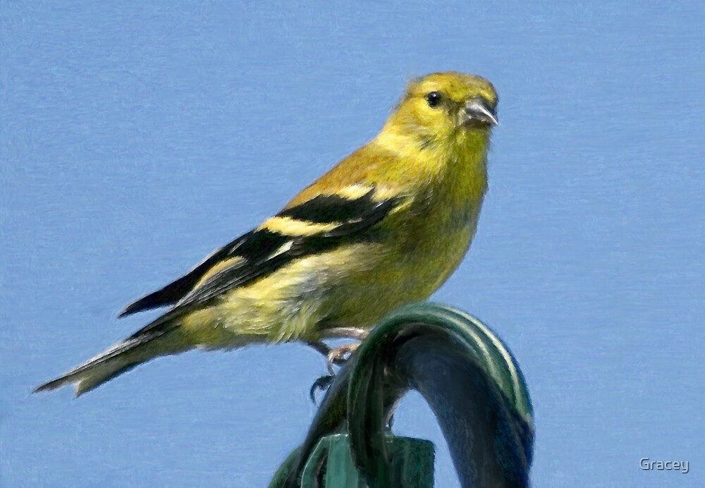 Goldfinch (Card) by Gracey