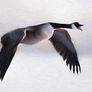 Canada Goose in Winter Flight (Card) by Gracey