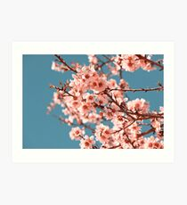 Pink Flowers Blooming Peach Tree at Spring Art Print
