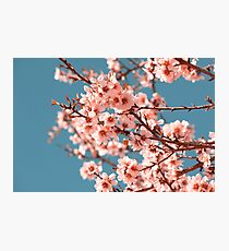 Pink Flowers Blooming Peach Tree at Spring Photographic Print