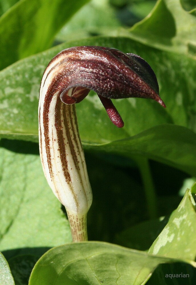Cobra Lily by aquarian