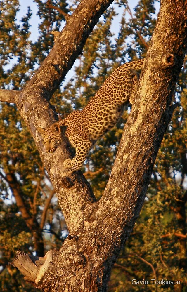 Leopardess in tree by Gavin  Tonkinson