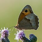 Meadow Brown Backlit by DonMc