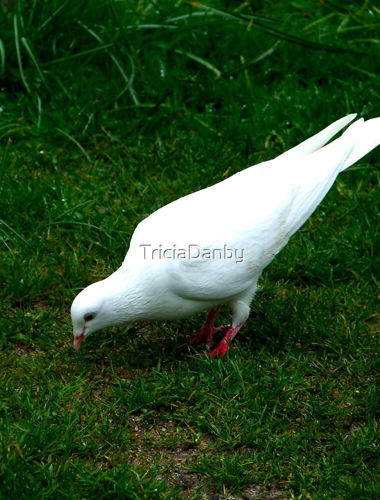 White Dove by TriciaDanby
