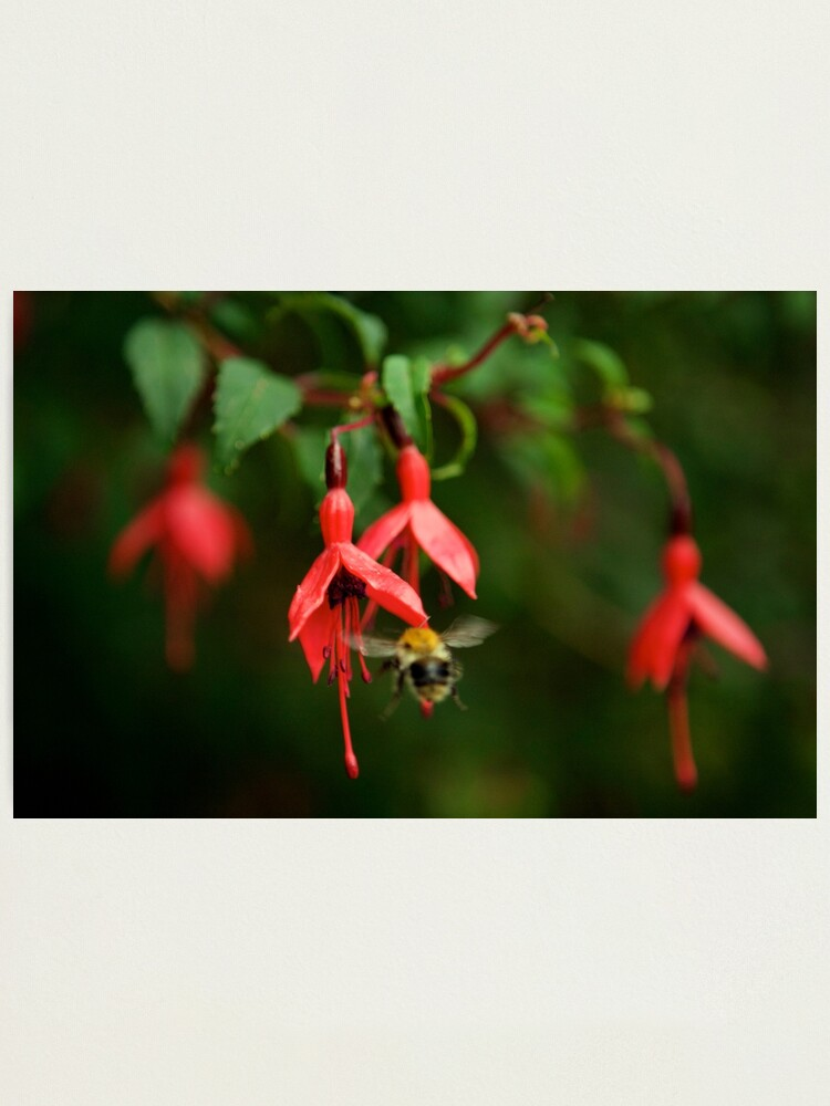 Alternate view of Fuchsia at Loch Na Fooey (wide) Photographic Print