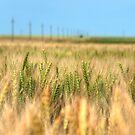 Grain field in summertime - HDR photo  by wildrain