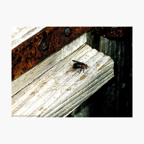 Sill Fly Photographic Print