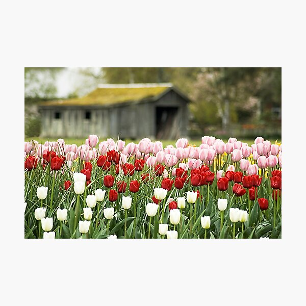 Tulip Garden Photographic Print