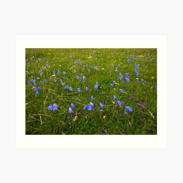 A sea of Harebells, Rossbeg, Co Donegal Art Print