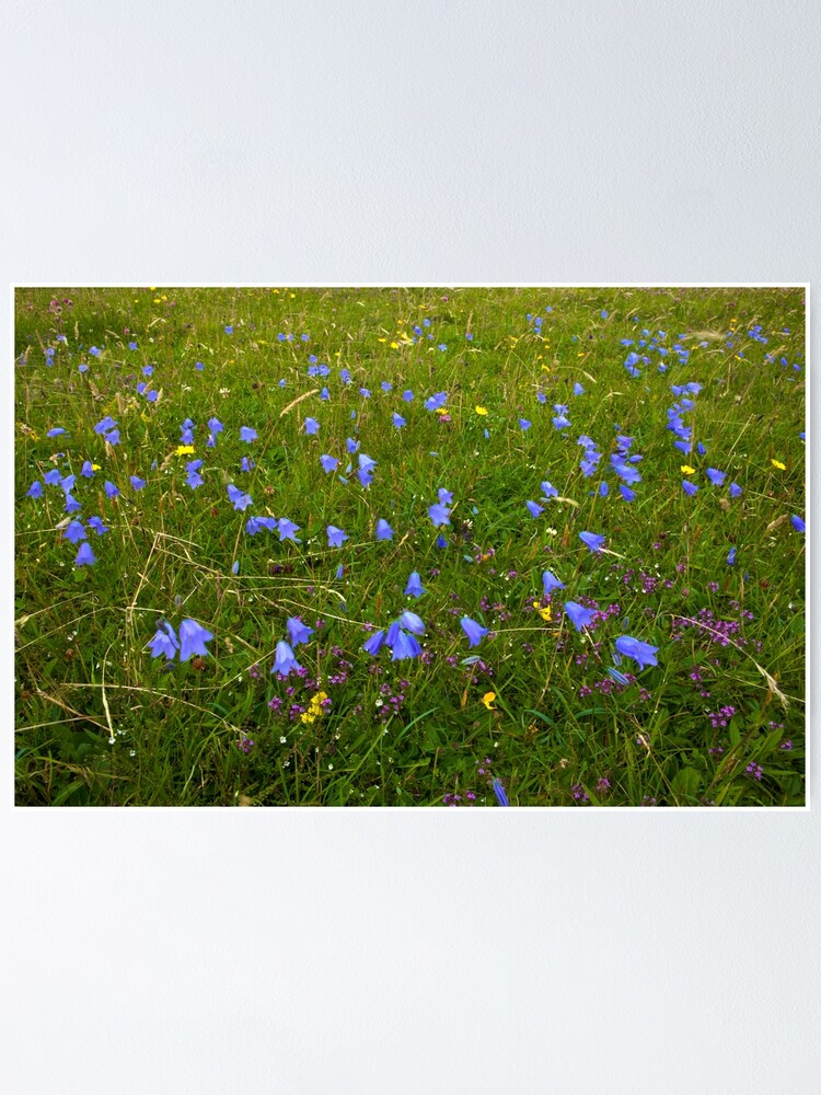 Alternate view of A sea of Harebells, Rossbeg, Co Donegal Poster