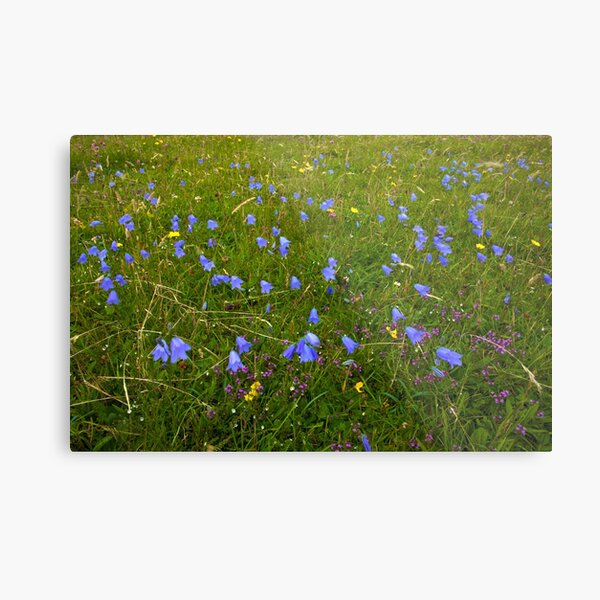 A sea of Harebells, Rossbeg, Co Donegal Metal Print
