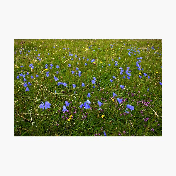 A sea of Harebells, Rossbeg, Co Donegal Photographic Print
