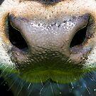 cow nose  by Dan Cretu