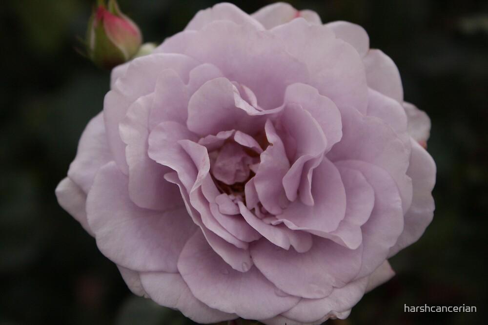 Rose My Way.... by harshcancerian